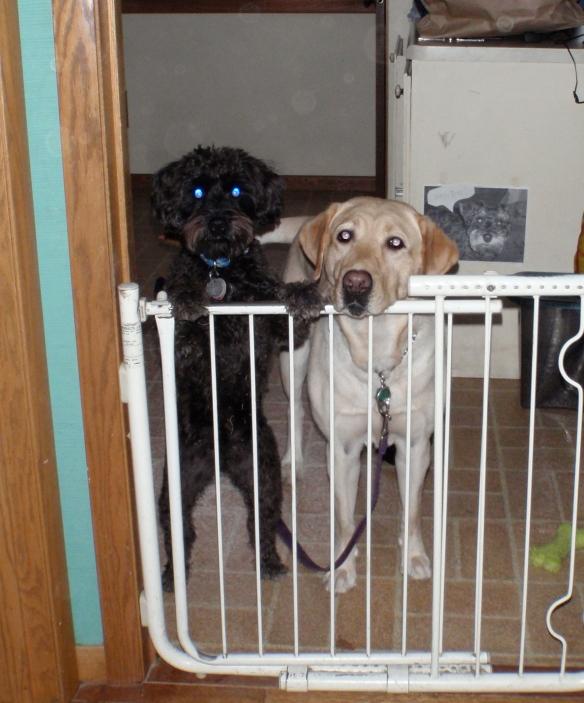 Guide Dog Nira and Schnoodle Jack